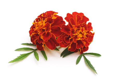 Bouquet of marigolds isolated on a white background. Standard-Bild - 115309206