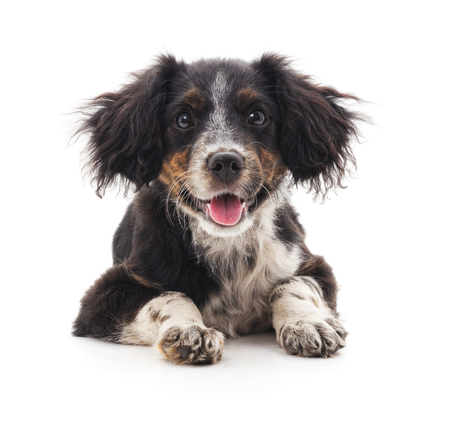 One little puppy isolated on a white background. Standard-Bild - 115309210