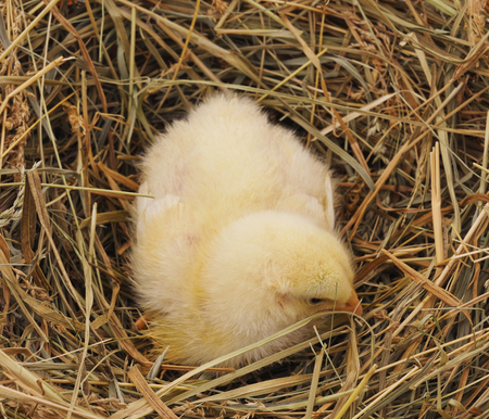 Little fluffy chickens sitting in a nest of hay. Standard-Bild - 115309212
