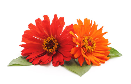 Bouquet of multicolored zinnia isolated on a white background. Standard-Bild - 116057122