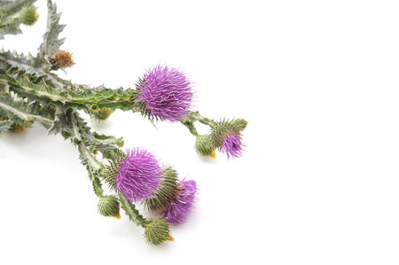 Beautiful flowering thistles isolated on a white background. Standard-Bild - 116057125