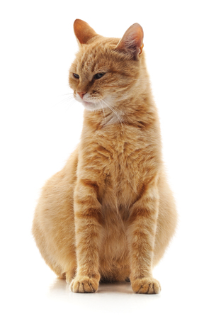 One pregnant cat isolated on a white background. Standard-Bild - 116057126