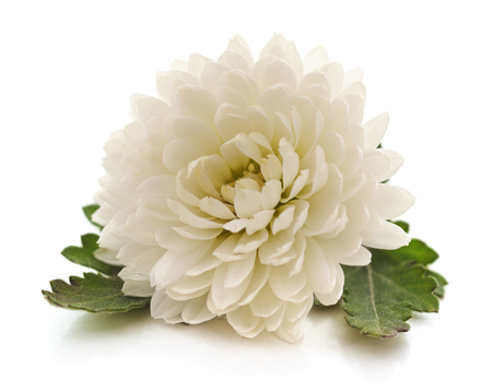 One white chrysanthemum isolated on a white background. Standard-Bild - 116057127