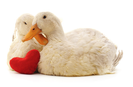 Two white ducks and heart isolated on a white background. Standard-Bild - 116057135