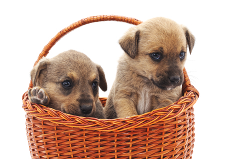 Puppies in a basket isolated on a white background. Standard-Bild - 116057174