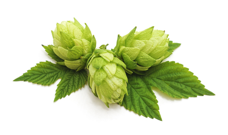 Fresh cones of hops isolated on a white background. Standard-Bild - 116057186