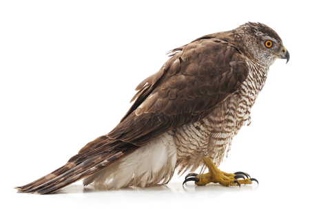 One brown falcon isolated on a white background. Standard-Bild - 116057203
