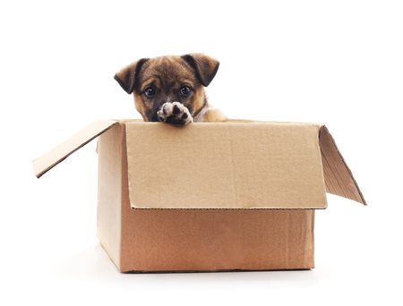 Puppy in the box isolated on a white background. Standard-Bild - 116057215