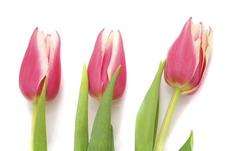 Bouquet pink tulips isolated on a white background. Standard-Bild - 116057222