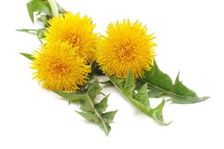 Bunch of yellow dandelions isolated on a white background. Standard-Bild - 116057247
