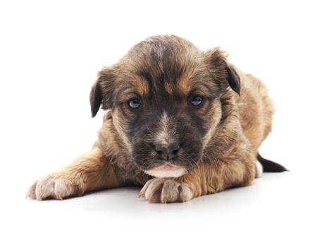 One small brown puppy isolated on a white background. Standard-Bild - 116057276