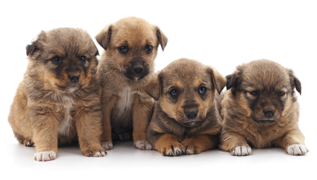 Four beautiful puppies isolated on a white background. Standard-Bild - 116057277