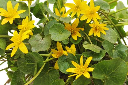 Bush of yellow flowers оn а white background. Standard-Bild - 116057296