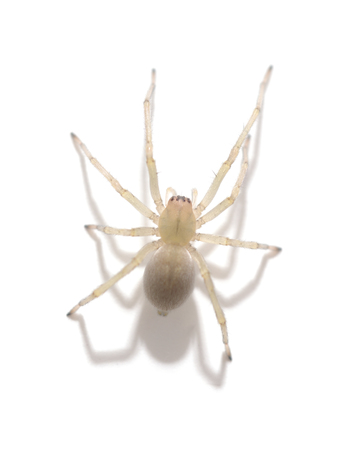 One yellow spider isolated on a white background. Standard-Bild - 116057301