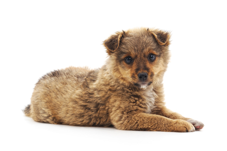 One small brown puppy isolated on a white background. Standard-Bild - 116057329