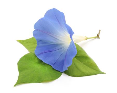 Flower ipomoea blue isolated on white background. Standard-Bild - 116057352