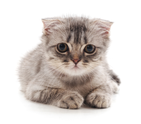 Small gray kitten isolated on a white background. Standard-Bild - 116057353
