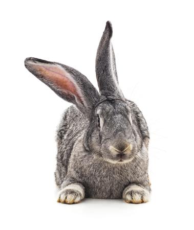 Grey big rabbit isolated on a white background. Standard-Bild - 116057358