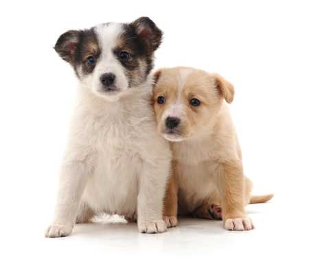 Two cute puppies isolated on a white background. Standard-Bild - 116057392