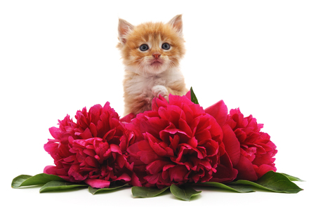 Red peonies and red cat isolated on a white background. Standard-Bild - 116057394
