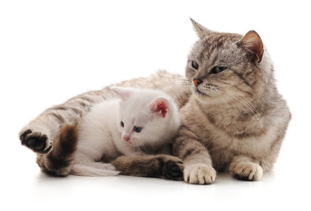 Cat with kitten isolated on a white background.