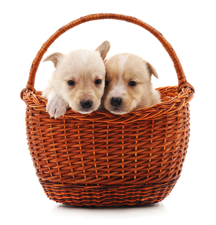Two puppys in a basket isolated on a white background. Stock Photo