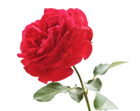 One red rose isolated on a white background. Banco de Imagens