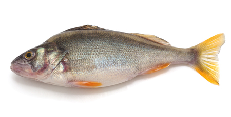 Little fresh perch isolated on a white background.