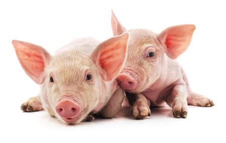 Piccoli maialini rosa isolati su sfondo bianco.