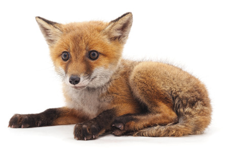 Little red fox isolated on a white background.