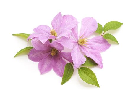 Bouquet di viola clematide isolato su uno sfondo bianco.