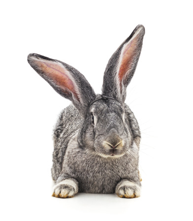Een grijs konijn geïsoleerd op een witte achtergrond.