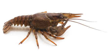 One brown crayfish isolated on a white background.