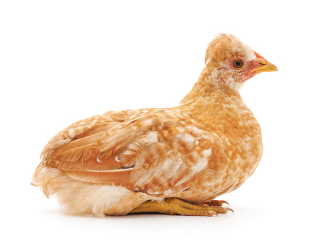 Small yellow chicken isolated on a white background. 写真素材