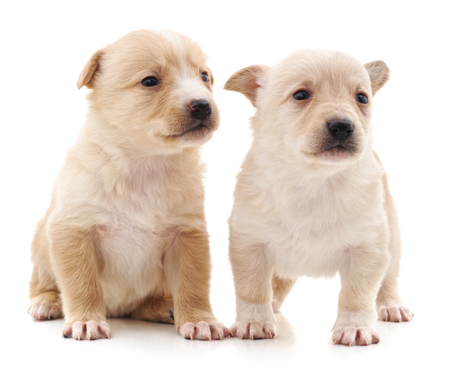 Two cute puppies isolated on a white background. Reklamní fotografie