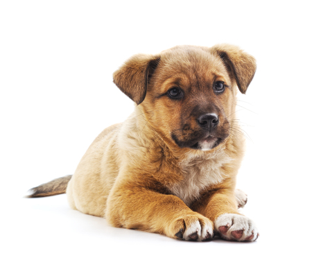 One small brown puppy isolated on a white background.
