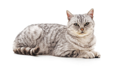 One gray cat isolated on a white background.