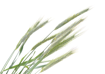 Spikes of wheat isolated on a white background. Standard-Bild - 122270957