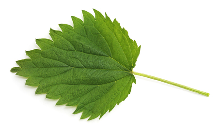 Green leaf nettle isolated on a white background.
