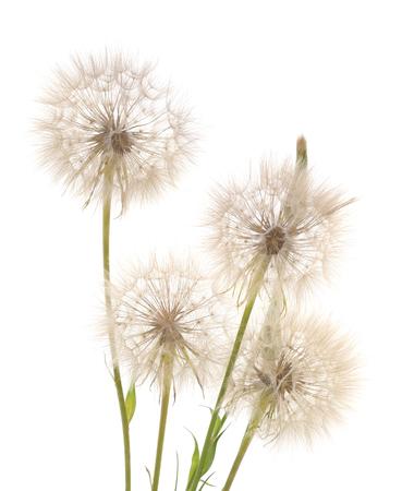 Vier große Pusteblumen isoliert auf weißem Hintergrund.