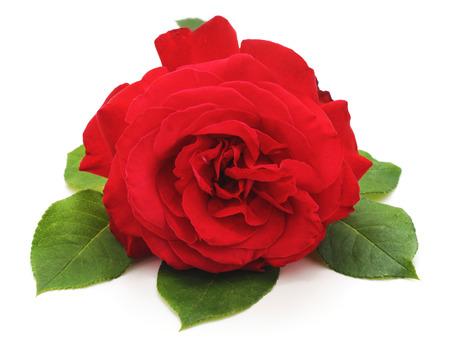 Een rode roos geïsoleerd op een witte achtergrond. Stockfoto