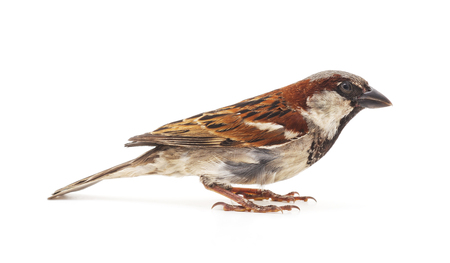 One little sparrow isolated on a white background.