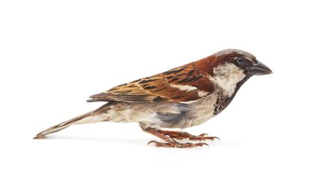 Un piccolo passero isolato su uno sfondo bianco.