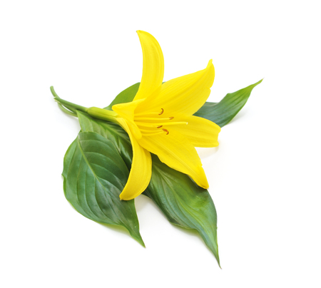 Large yellow lily isolated on a white background.