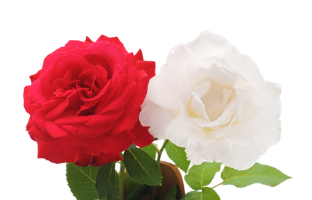 Red and white roses isolated on a white background.