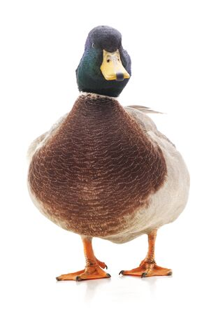 One wild duck isolated on a white background.