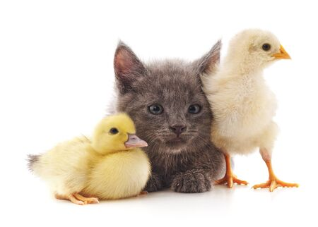 Kitty chicken and duck isolated on a white background.