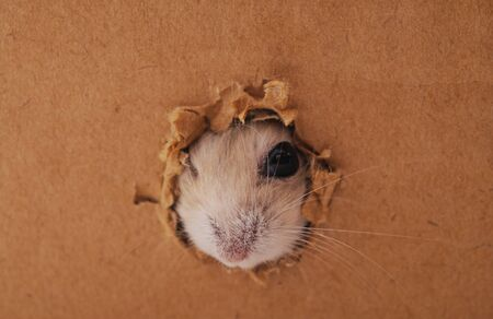 White hamster and hole in a cardboard box.