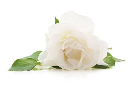 One white rose isolated on a white background.