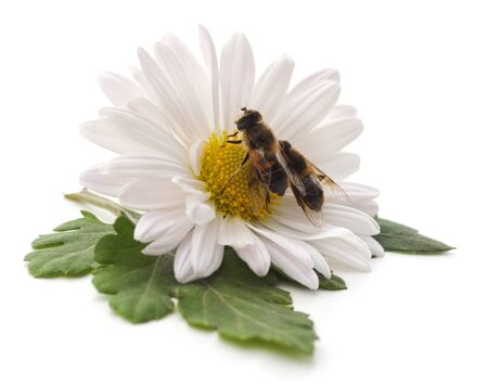 Two bees on chamomile isolated on a white background. Stock Photo